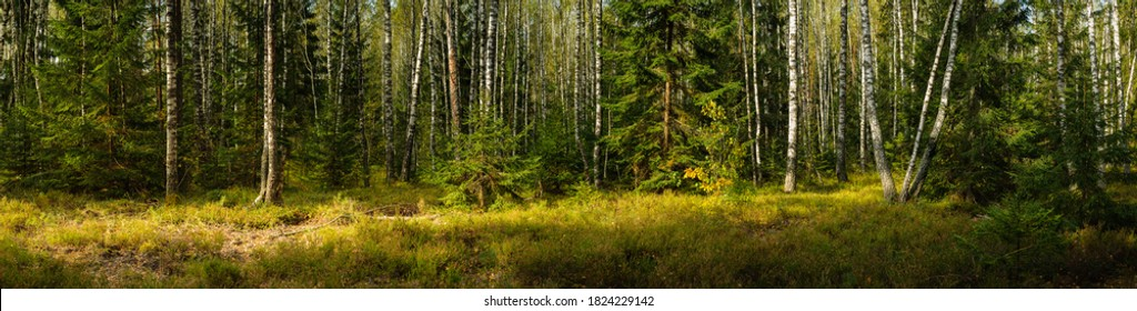 wide panoramic view of a beautiful mixed birch-spruce forest with grass in the foreground and lateral sunlight in warm September weather