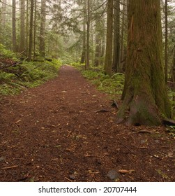A wide path passes by Western Red Cedar trees in a misty Pacific Northwest Forest.