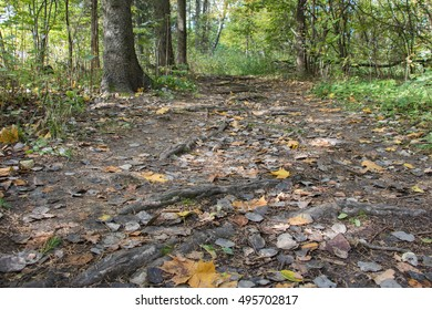 A wide path in the woods, early fall, trees roots