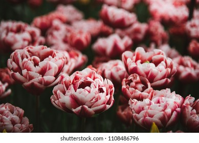 Wide Red and Pink Tulips, Close Up, Amsterdam, Holland