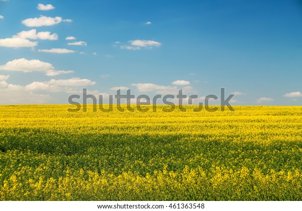 Wide saturated rapeseed field with the blue sky on the background