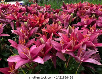 Wide shot of beautiful bright pink Asiatic lily flowers in the garden