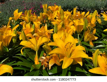 Wide shot of blooming yellow Asiatic lilies in a garden