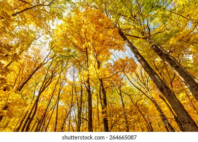 Wide shot of bright yellow and green foliage of aspen trees in autumn oak forest, Belgorod region in southern Russia