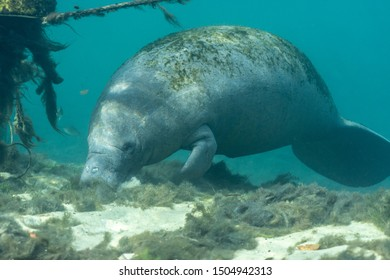 Wide shot of a curious West Indian Manatee (Trichechus manatus) that approached the underwater camera. Manatees were reclassified as threatened in 2017, as their numbers have increased over the years.