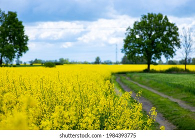 a wide shot of a field road going through a rape field with a big tree at the end - Shutterstock ID 1984393775