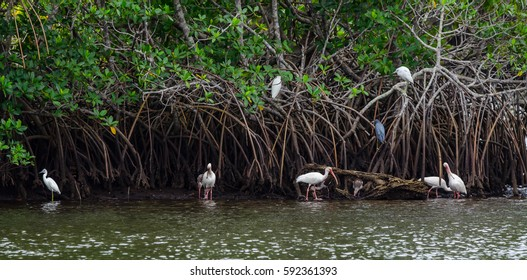 Wide shot of little blue herons and ibis sharing a mangrove root system in a tidal river with some perching and some walking in the mud and water
