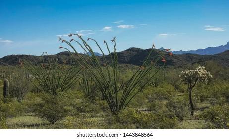 wide shot of an ocotillo cactus near ajo, az
