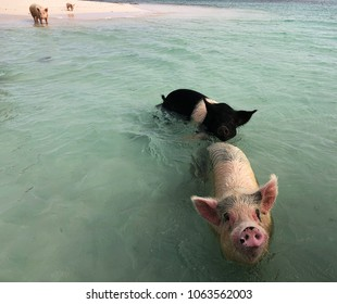 Wide shot of pigs swimming in the waters of Exuma Cays in the Bahamas