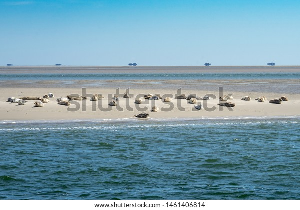 A wide shot of wild beautiful cute seals in a herd resting at the coast of a sandy beach on a sunny day