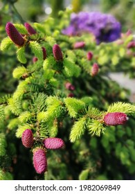 wide spreading Picea abies Acrocona with beautiful pink cones and spring vegetation on  background of an unusually beautiful and colorful huge purple Rhododendron impeditum Azurika . Floral Wallpaper