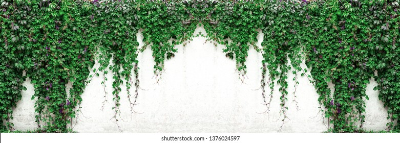 Wide texture of old white concrete wall with Virginia creeper vines. Green foliage on whitewashed cement surface panoramic banner background.