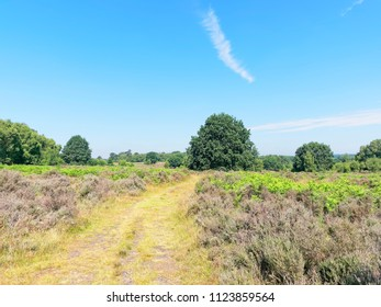 A wide track curves between lush moorland, with heather snd ferns, towards a tall tree, Budby South Forest, on the fringes of Sherwood Forest in Nottinghamshire.