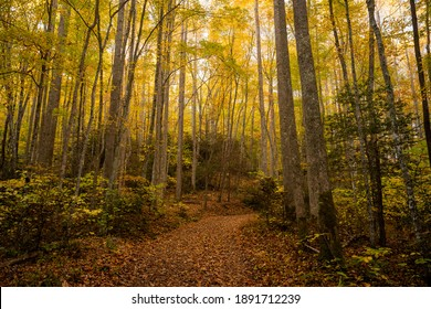 Wide Trail Cuts Through Tall Forest In Fall in the Smokies