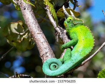 wide upright clip of a jackson's chameleon in hawaii
