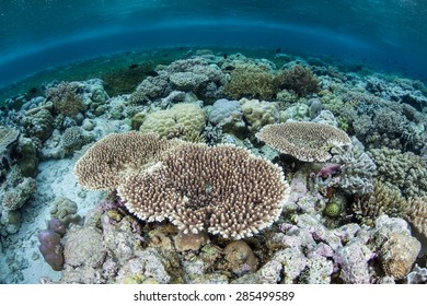 A wide variety of corals compete for space to grow on a shallow reef in Wakatobi National Park, Indonesia. This area, found south of Sulawesi, harbors some of the Coral Triangle's most healthy reefs.