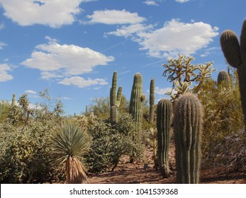 A wide variety of desert flora, including Giant Saguaro Cactus, Cardon Cactus, Chainfruit Cholla, Staghorn Cholla, Yucca and Creosote dot the landscape with a blue sky dotted with white clouds