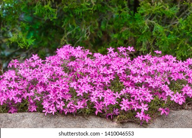 Wide view of a bed of purple flowers