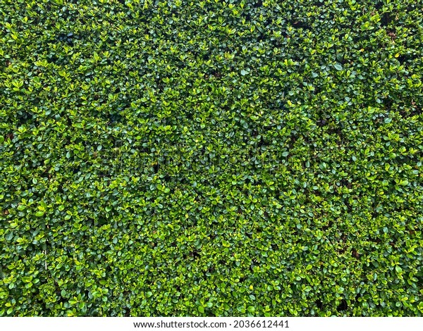 wide view of freshly cut garden hedge wall