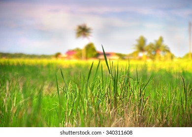 The wide view of Paddy Field in the morning.