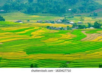 Wide view of the rice paddies on harvest season in Khau Pha (Yen Bai Province, Vietnam).