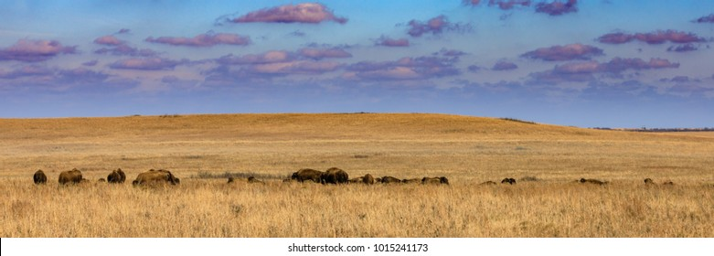 Wide view of the Tallgrass Prairie Preserve with a herd of American bison in Pawhuska, Oklahoma
