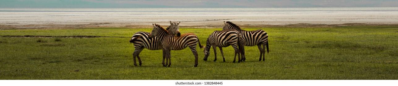 Wide view zebras on grassland near see, photo safari in Africa