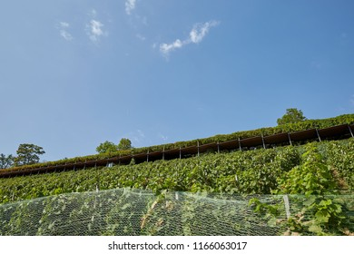 A wide vineyard on the mountain against a blue sky in Prague, Czech Republic.