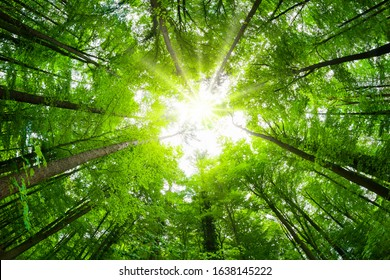 Wide-angle canopy shot in a beautiful green forest, magnificent upwards view to the treetops with fresh green foliage and the sun