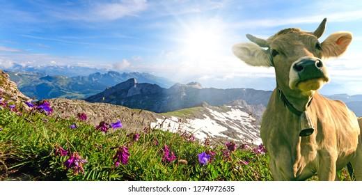 WeitwinkelAufnahme einer braunen Kuh auf dem Säntis in der Schweiz mit der umliegenden Bergkette mit schönen Wiese-Blüten und fantastischem Ausblick, während einer Bergwanderung