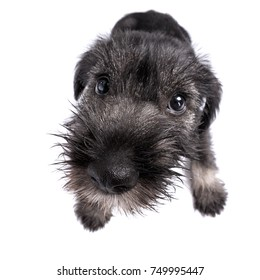 wide-angle shot of small mittelschnauzer puppy. Mittel Schnauzer pup isolated on white background