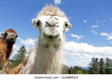 Wide-angle shot of a young white clumsy clot. A two-humped young camel