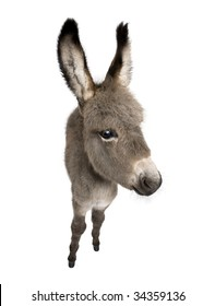wide-angle view of a donkey foal (2 months) in front of a white background