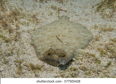 Wide-eyed Flounder in the Canary Islands
