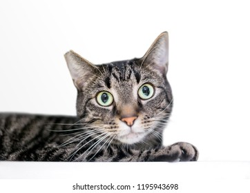 A wide-eyed tabby domestic shorthair cat with its ear tipped, indicating that it has been spayed or neutered and vaccinated