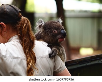 Wide-Eyed Trusting Loveable Koala Being Held & Cherished by a Keeper.