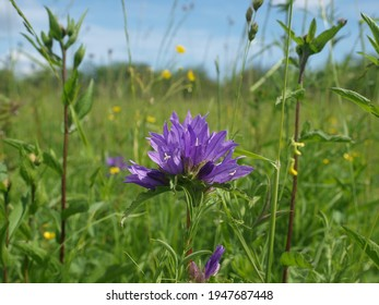 The wide-leaved bellflower. Campanula latifolia, the giant bellflower is a species of bellflower in the family Campanulaceae. It is also known as the large campanula and the wide-leaved bellflower.