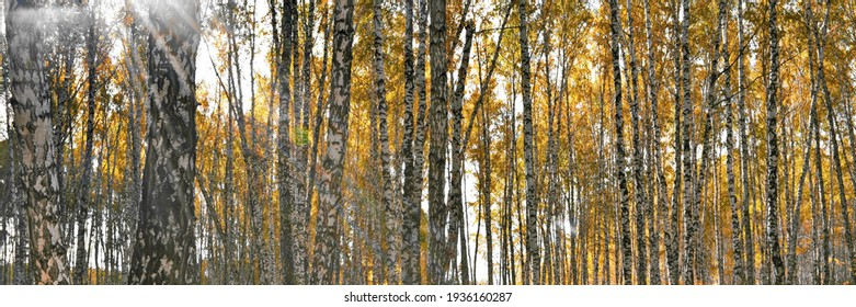 Widescreeen panoramic view on thick birch grove with yellow foliage in autumn day against bright rays of sun shine and glare. Beautiful fall nature forest background