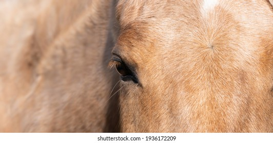 Widescreen photograph of the front view of part of a light brown horse's head with the neck and mane out of focus on the left. Focus on the fur on the head
