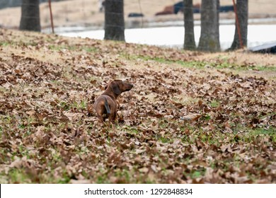 Wiener / dachshund dog looking for a squirrel in the trees. Early Morning on a cold fall day.
