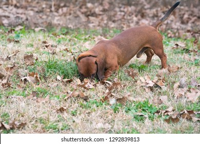 Wiener / dachshund dog on the hunt smelling for prey on a cool fall morning.