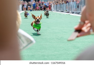 Wiener dachshund dog race