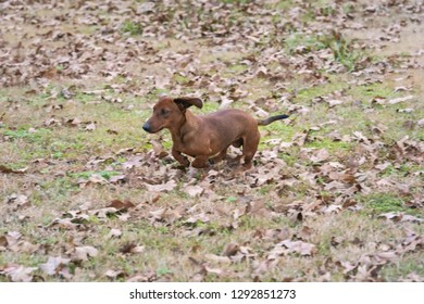 Wiener / dachshund dog running through the leaves on a cold autumn morning.