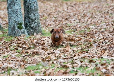 Wiener / dachshund dog running through the leaves toward the camera on a cold autumn morning.