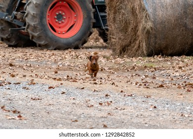 Wiener / dachshund dog running toward the camera on a ranch in Oklahoma