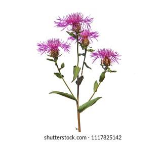 Wig knapweed, Centaurea phrygia subsp. pseudophrygia