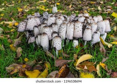 Lawer´s wig mushrooms