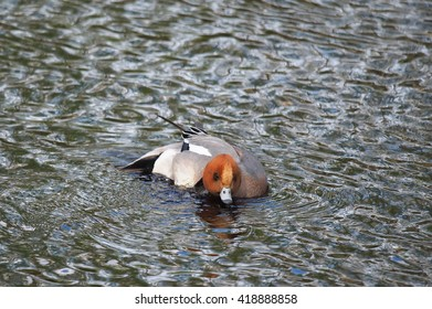 wigeon duck (Anas penelope) on the river