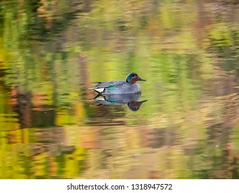 A wigeon duck swims in a fishing pond in a forest perserve in central Kanagawa Prefecture, Japan