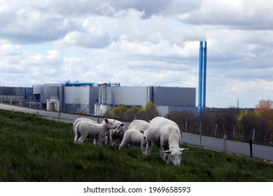 Wijster, the Netherlands- May 7, 2021: white sheep on the VAM mountain with waste processor Attero in Wijster, the Netherlands